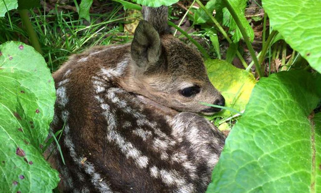 Kitze verstecken sich im hohen Gras. Statt eines Fluchtreflexes haben sie einen Drückinstinkt, der ihnen zur Gefahr wird.